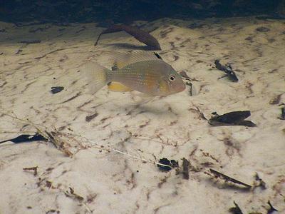 Tapajos river fish