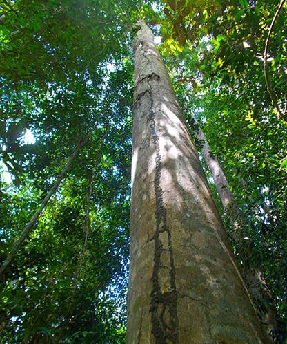 Amazon Rainforest Giants