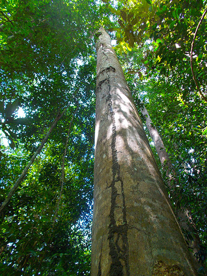 Amazon Rainforest Giants