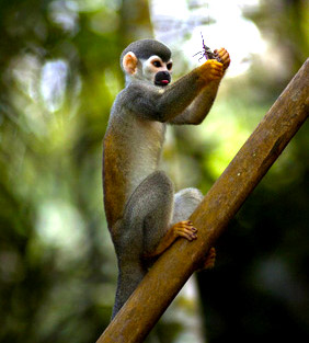 Rainforest squirrel monkey
