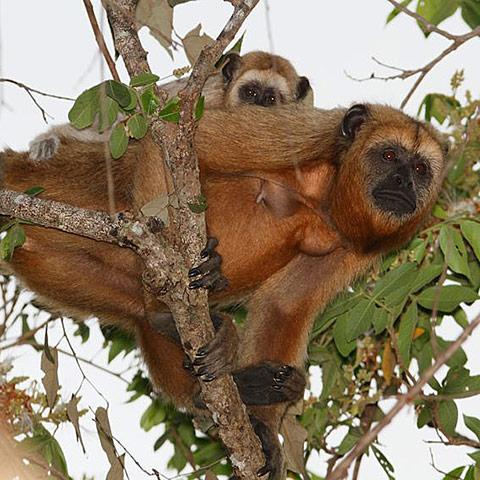 Brazil Rainforest Howler Monkeys
