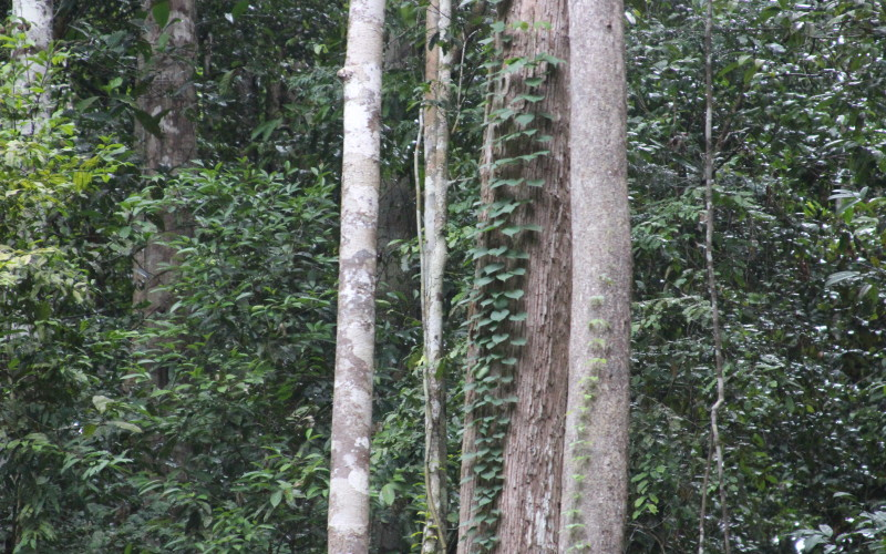 Rainforest Tree Vines