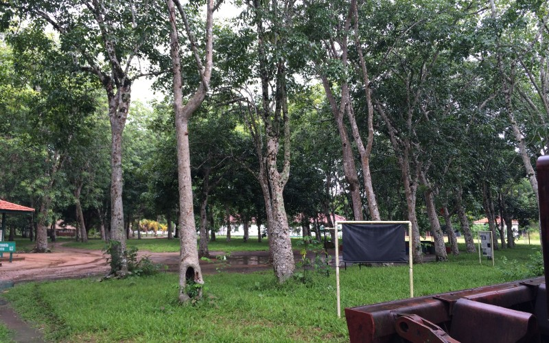 Aging Rubber Tree Plantation