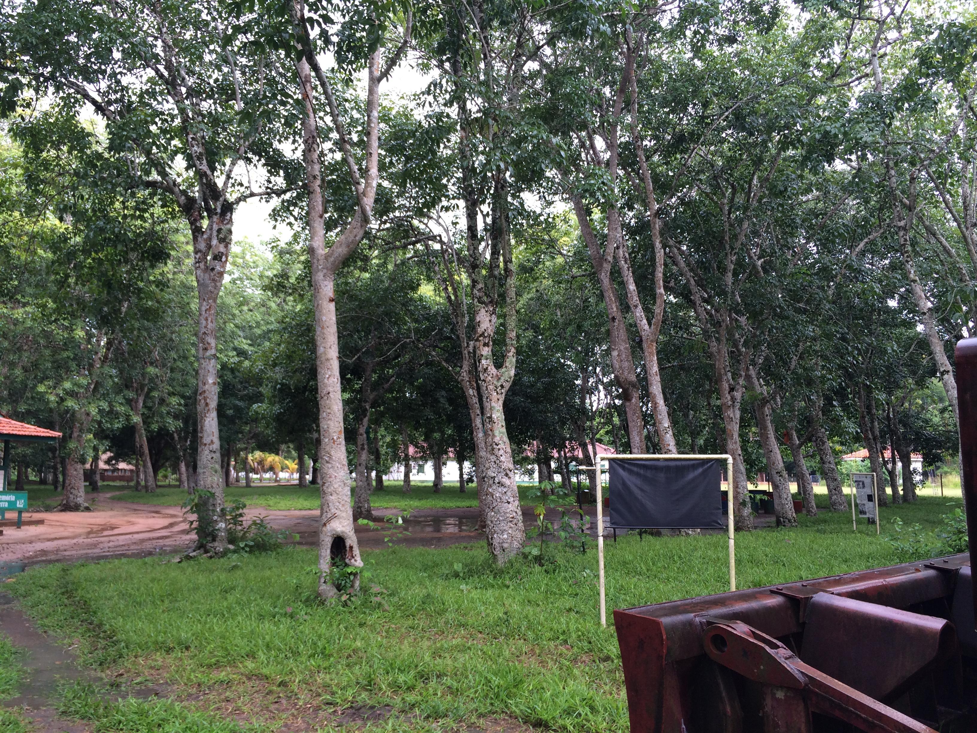 Aging Rubber Tree Plantation