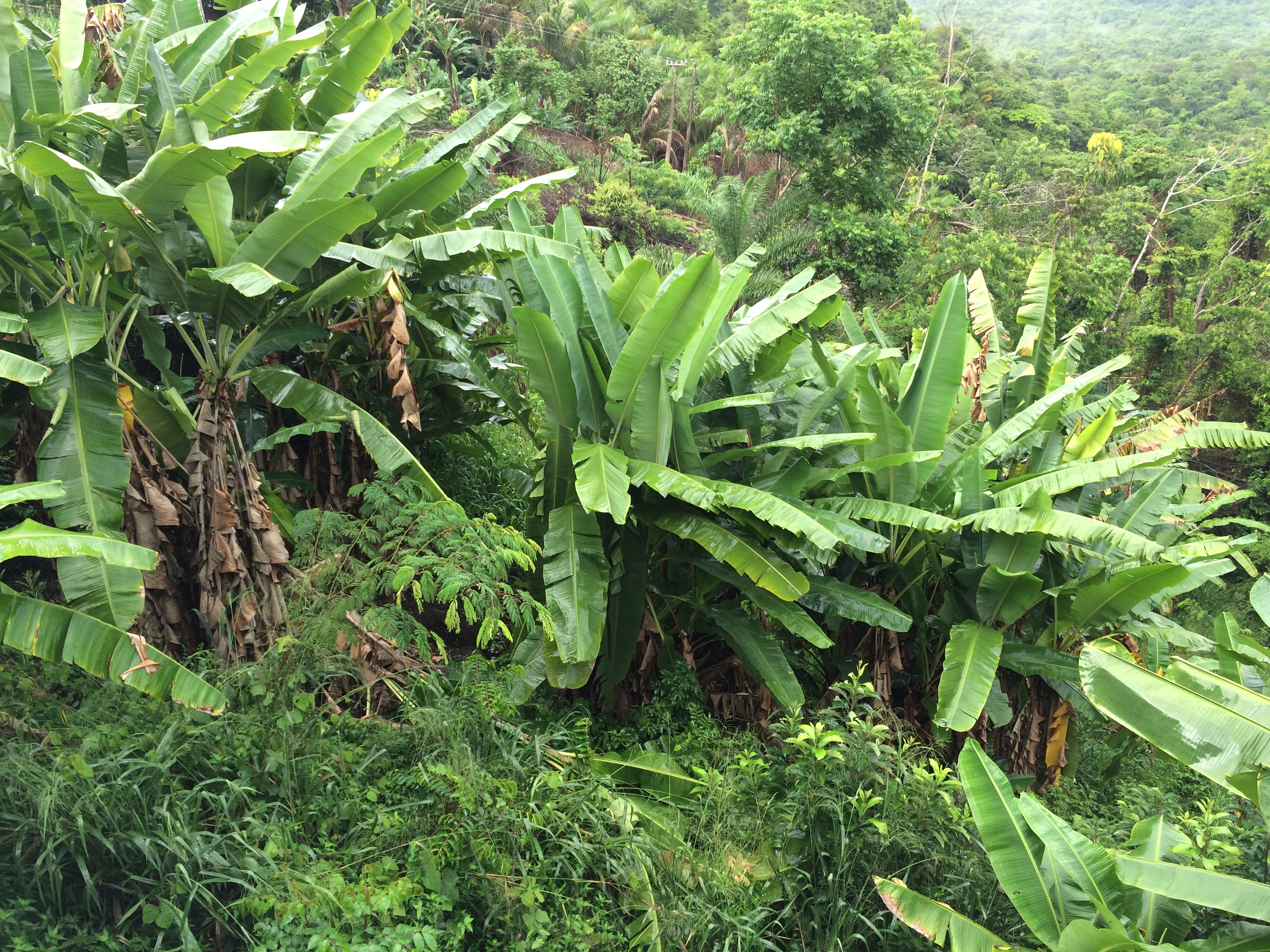 Rainforest Banana Trees