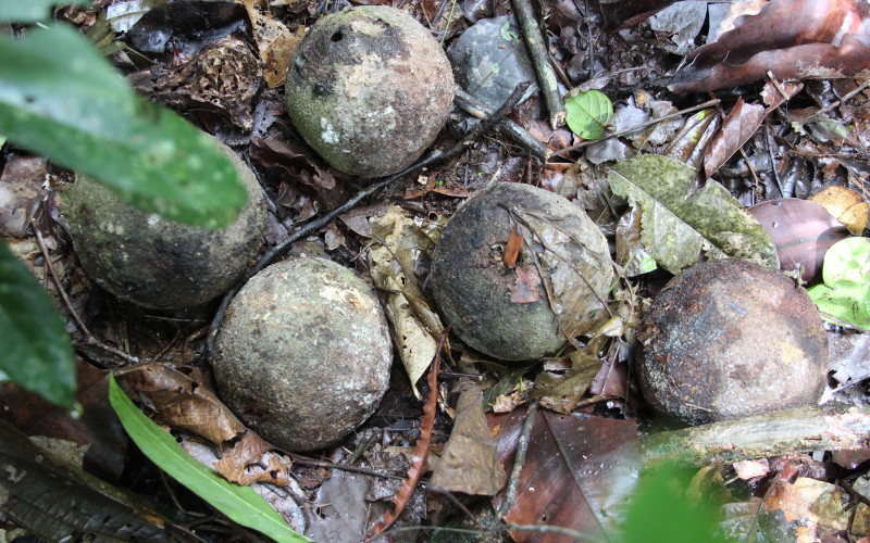 Brazil Nuts on Rainforest Floor