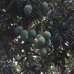 Ripe Hanging Mangoes Santarem
