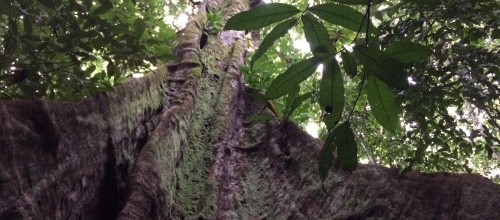 Rainforest Tauri Tree