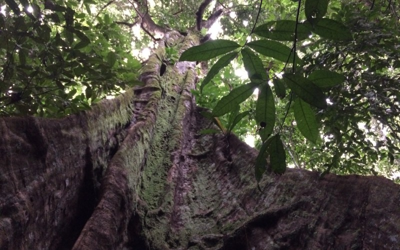 Rainforest Tauri Tree