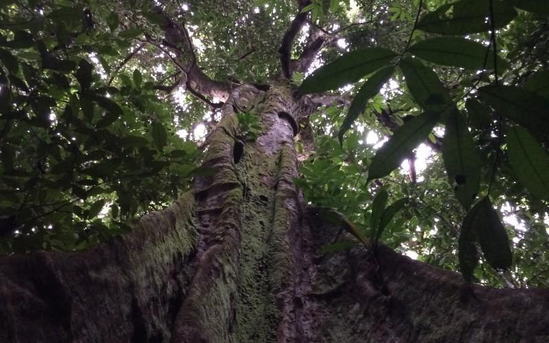 Giant Tauari Canopy View